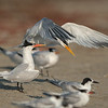 Elegant Terns with a few Forster's Terns