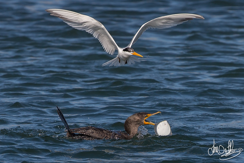 Elegant Tern and a Double-crested Cormorant