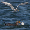 Elegant Tern checking out a Double-crested Cormorants catch of a Turbot Bolsa Chica Wetlands • Huntington Beach, CA