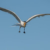 Elegant Tern with it's Catch