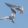 Forster's Terns Squabble over a Fish