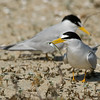Least Tern brings a fish for courtship