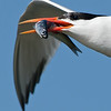 Elegant Tern with a Nice Fish