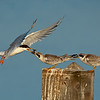 Forster's Tern parent feeding her fledges Bolsa Chica Wetlands • Huntington Beach, CA