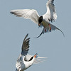 Forster's Terns bickering