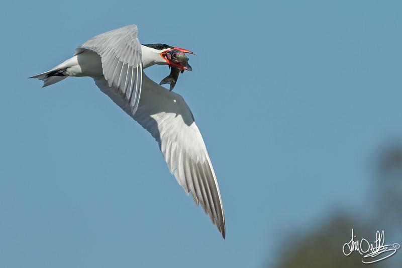 Caspian Tern with a Freshly Caught Carp