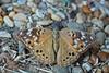 Moth On Rocks 2