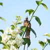 Speckled Mousebird on a White Bougainvillea