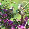 Speckled Mousebird Pair