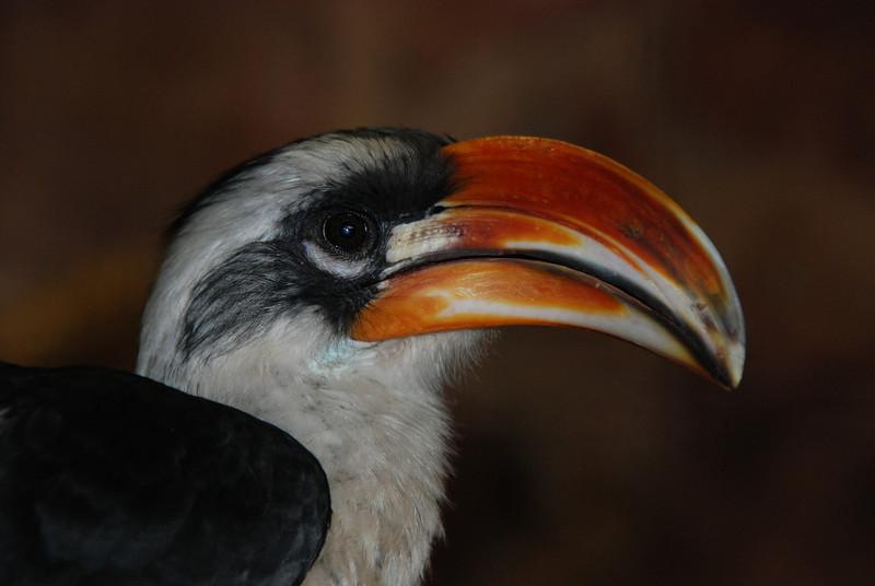 A male Von der Decken's Hornbill (Tockus deckeni) of East Africa.