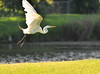 Great Egret Takes Wing