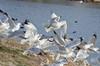 Rising Ring-billed Gulls 1