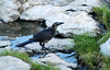 Grackle Drinking 1