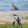 Jackass Penguin (Spheniscus demersus) shares a rocky home with an Egyptian Goose at Boulder Beach near Cape Town South Africa.