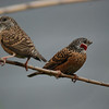 Cut-throat Finches (2): A female and a colorful male share a reed in Lusaka, Zambia.