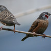 Cut-throat Finches (1): A female and a colorful male share a reed in Lusaka, Zambia.