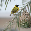 Southern Masked Weaver in Lusaka, Zambia (1): This male weaver perches on the palm branch that is both the anchor and material for his woven nest.