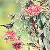 Bronzy Sunbird on Red 1