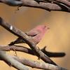 Male Red-billed Firefinch