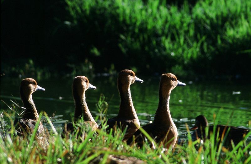 Ducks in a Row: Indigenous Fulvous Ducks line up in the warm African sunlight. Location - Mukuvisi Woodland, Harare, Zimbabwe, Africa