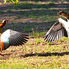 At the home of our Cape Town hosts, wild Egyptian geese (Alopochen aegyptiacus) claim victory after a battle with another pair for territorial rights.