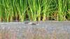 Redbilled Teal (Anas erythrorhyncha)