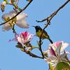 Variable Sunbird Framed in Pink