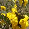 Yellow Native 2