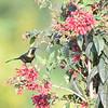 Bronzy Sunbird on Red 2