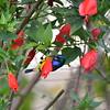 Variable Sunbird Draws Nectar