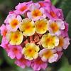 Lantana Bouquet