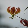 Zambian Flame Lily