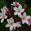 Frangipani  Bouquet 2