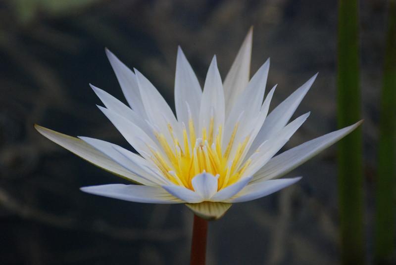 Zambian Lily