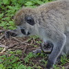 Monkey Mother and Child 2