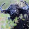 Buffalo in cover near Hwange National Park, Zimbabwe (2)