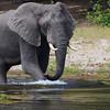 Wading Elephant 2