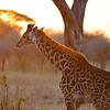 Baby Giraffe at Dawn