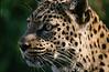 Golden Gaze: A leopard fixes its golden gaze on its quarry.  Location: Zimbabwe, Africa.