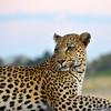 African Leopard 5