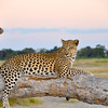 African Leopard 4