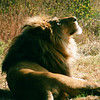 Tribute to the King: The lion, king of beasts, looks higher, as if to pay tribute to his King.