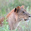 Lioness On The Prowl 2