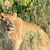 Young Lion On The Prowl  4