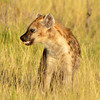 Spotted Hyena 1