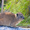 Rock Hyrax (Procavia capensis; locally called Dassie) on a ledge at the summit of Table Mountain, Cape Town, South Africa (2).