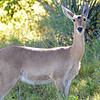 Morning Reedbuck