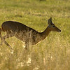 Red Lechwe Running
