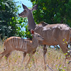Mother And Child Kudu 1