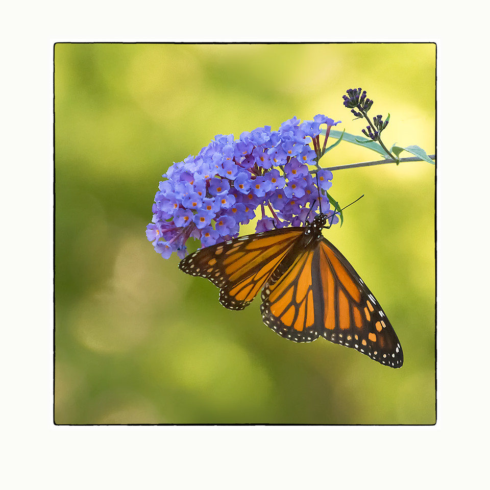 Monarch Sipping on a Butterfly Bush